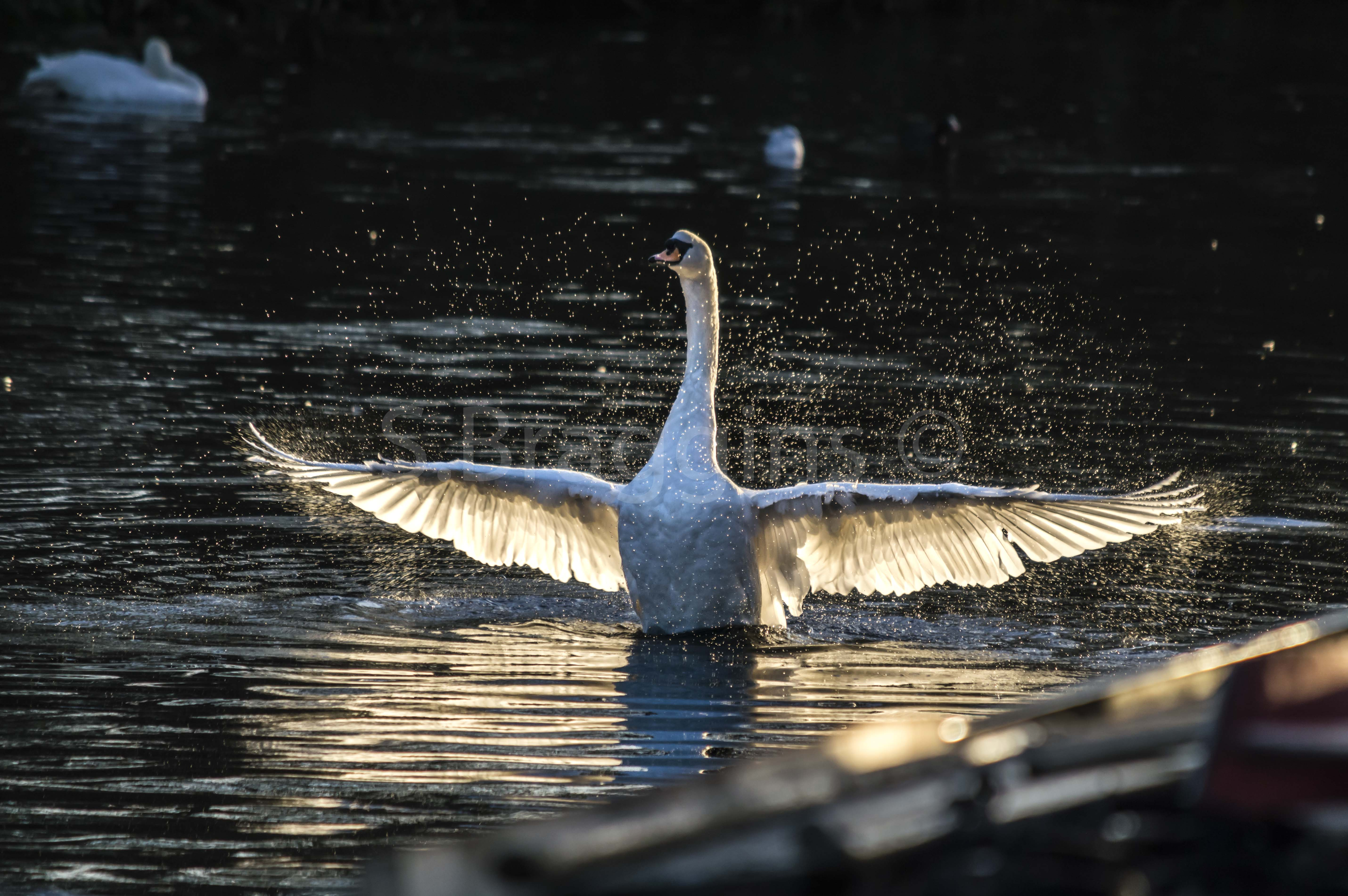 River Lea Phoenix (Markfield Park) : A swan finishes washing itself in the late afternoon sun - December 2016 (Flickr hall of fame winner)