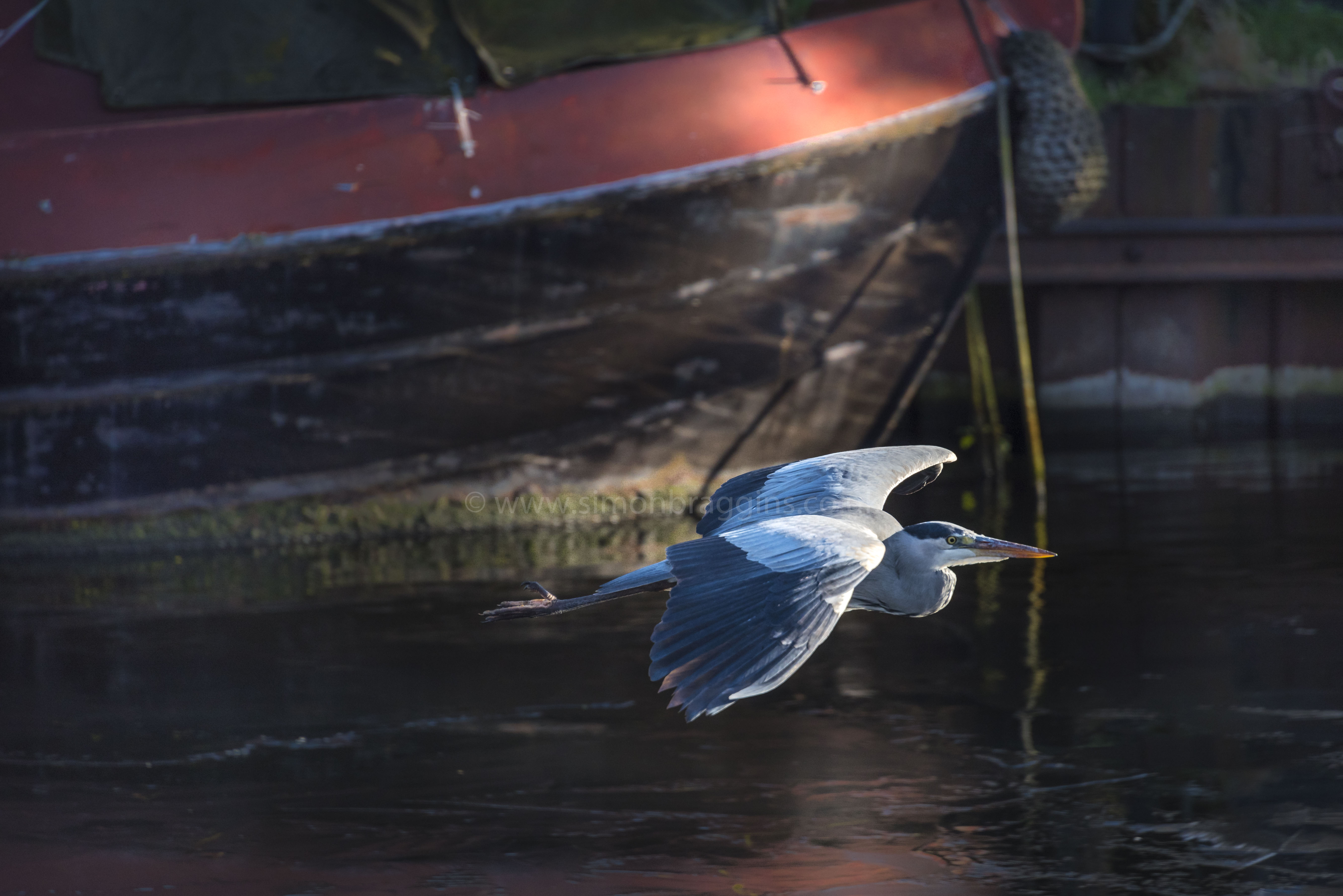 In to the sun: A heron flies out of the dark in to the sun. -Tottenham Hale Lock, December 2017