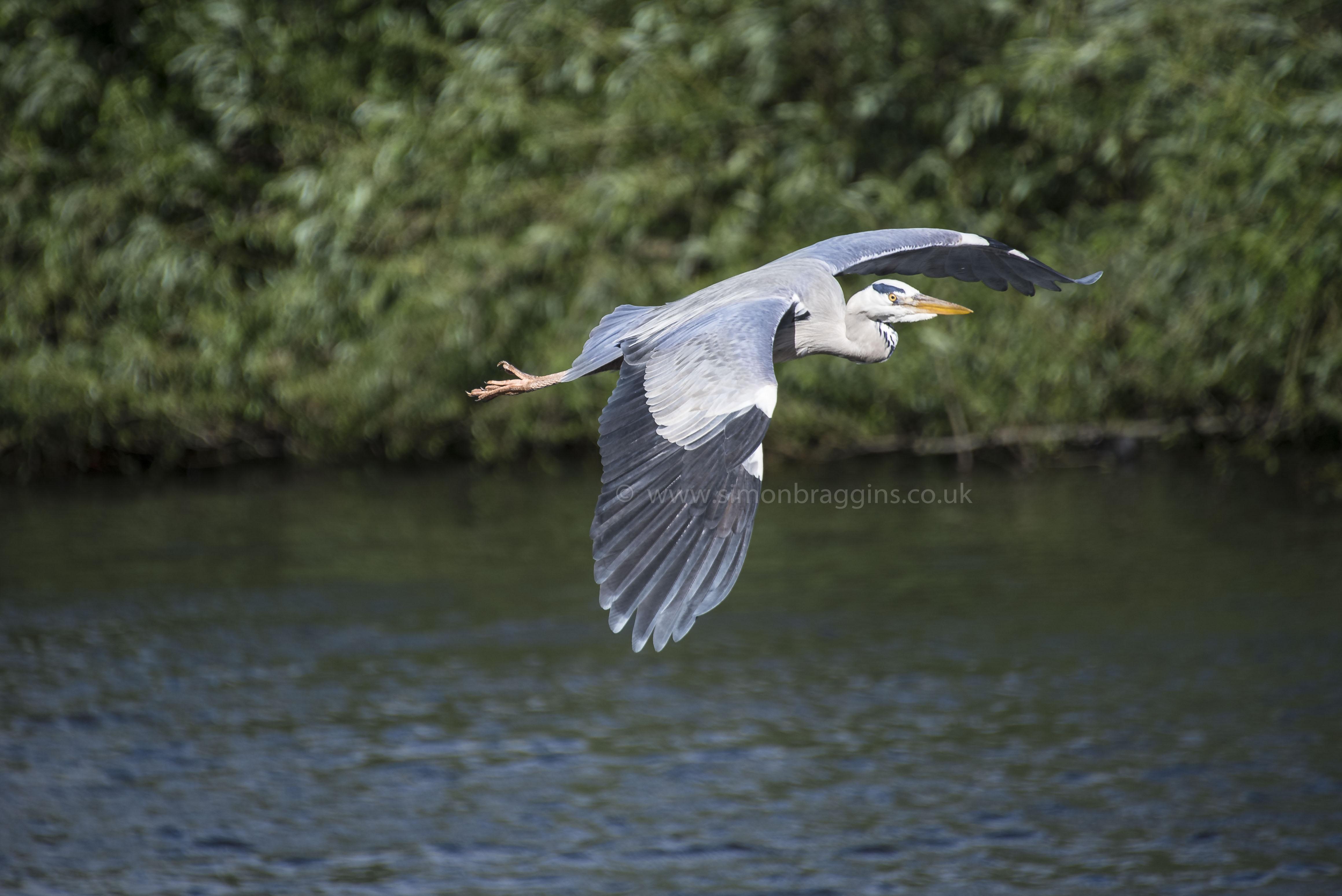 Glider: Harry in full flight along the river Lea - Tottenham Hale, June 2017