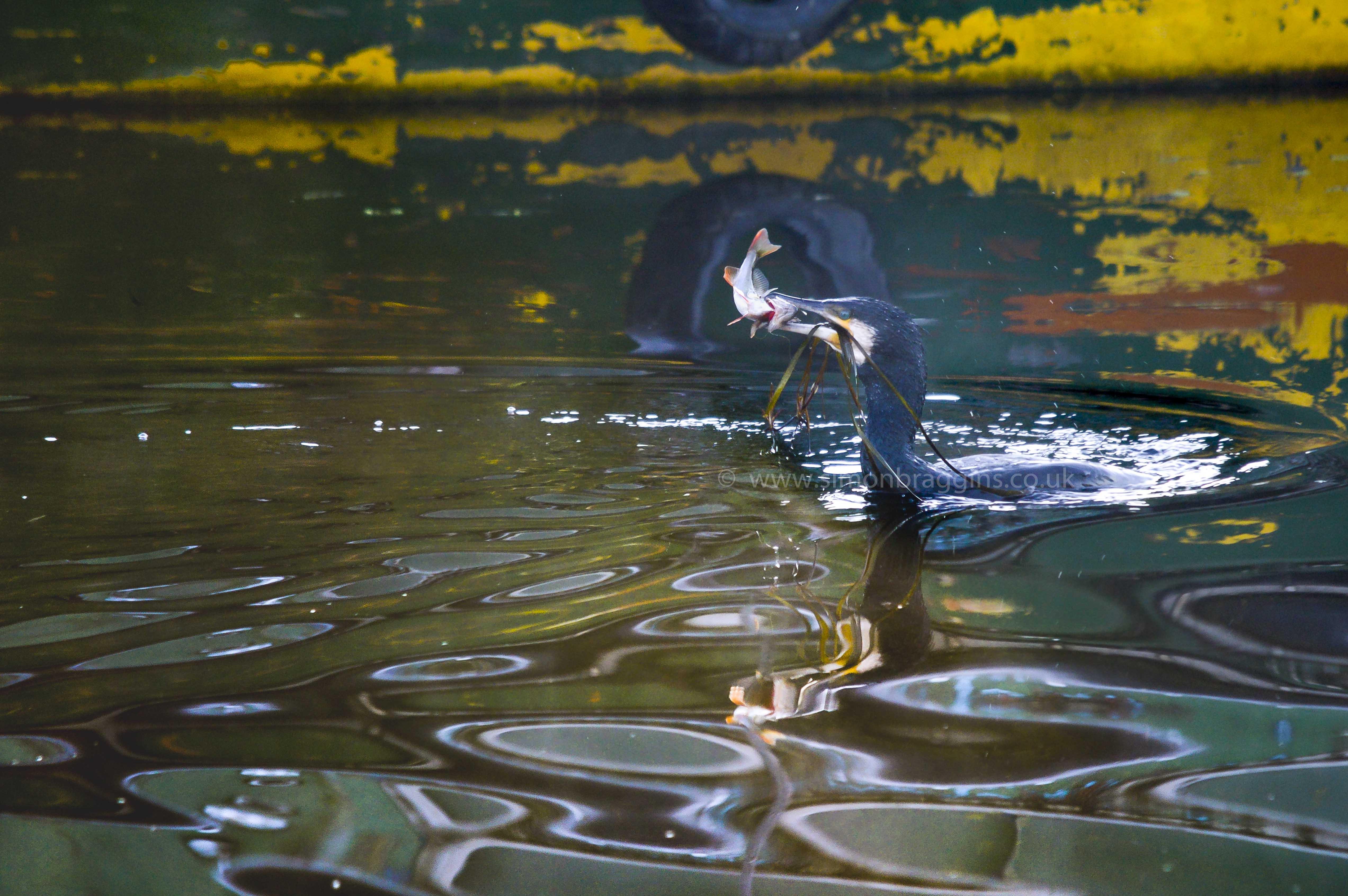 Breakfast: A cormorant's early morning success - Tottenham Hale, December 2016