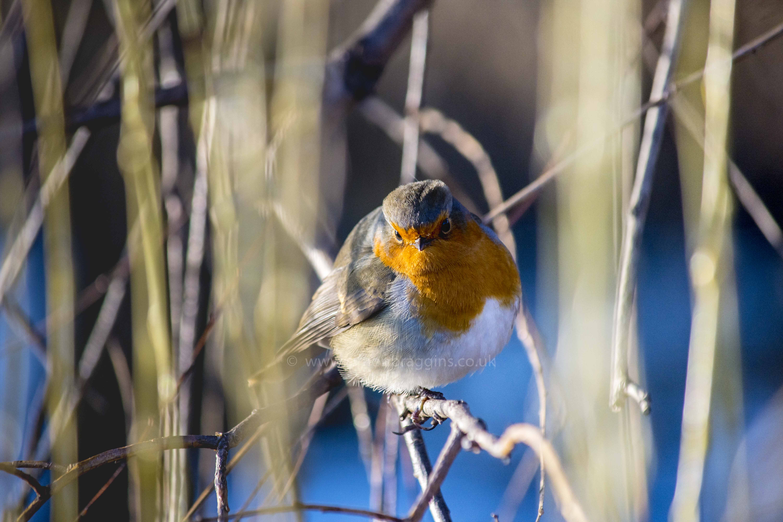 Chubby Robin